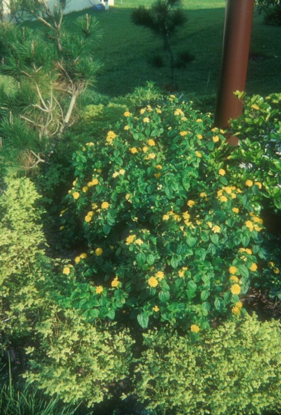 Plant photo of: Lantana 'Yellow Bush'