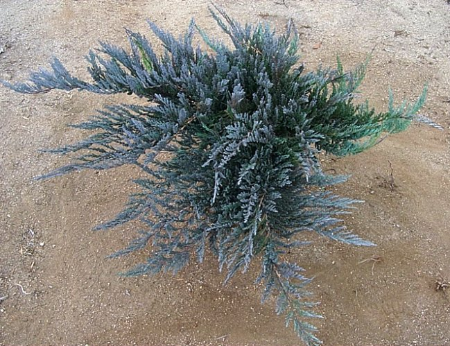 Plant photo of: Juniperus horzontalis 'Bar Harbor'