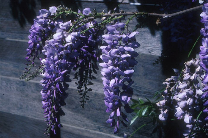 Plant photo of: Wisteria sinensis 'Cooke's Special'