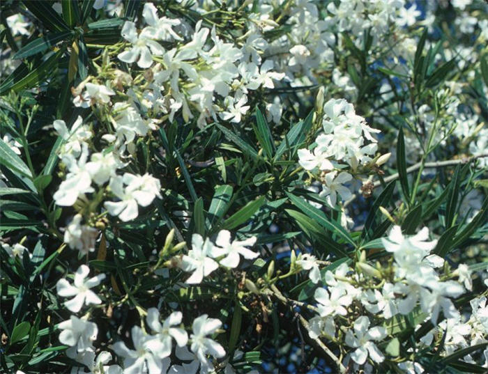 Plant photo of: Nerium oleander 'Little White'