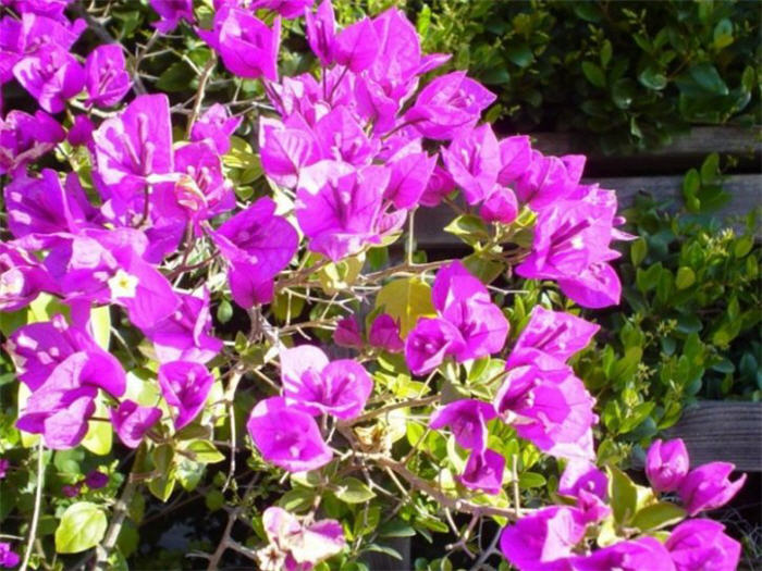 Plant photo of: Bougainvillea cultivars
