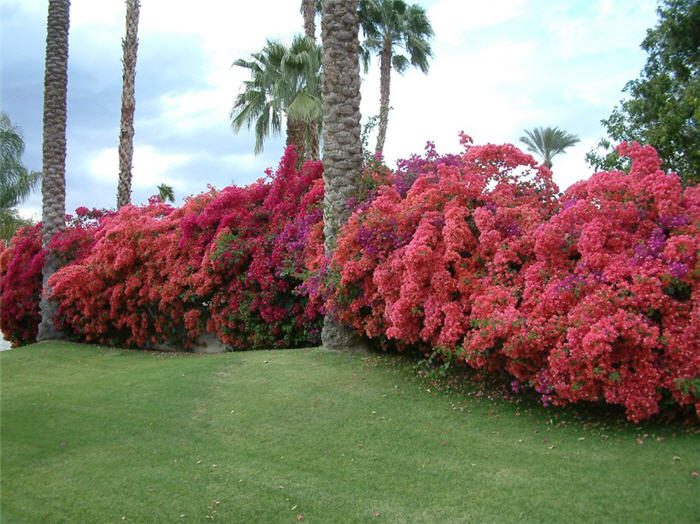 Plant photo of: Bougainvillea 'Barbara Karst'