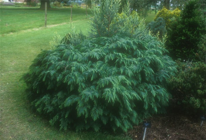 Plant photo of: Chamaecyparis lawsoniana 'Nidiformis'