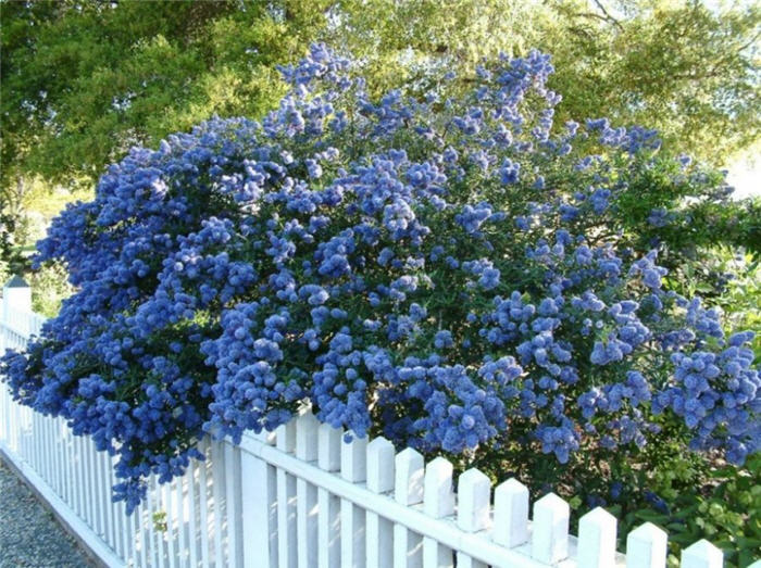 Plant photo of: Ceanothus 'Concha'
