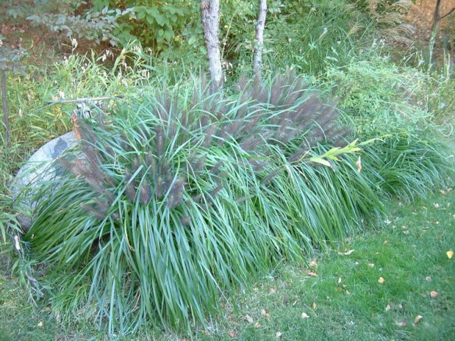 Plant photo of: Pennisetum alopecuroides 'Moudry'