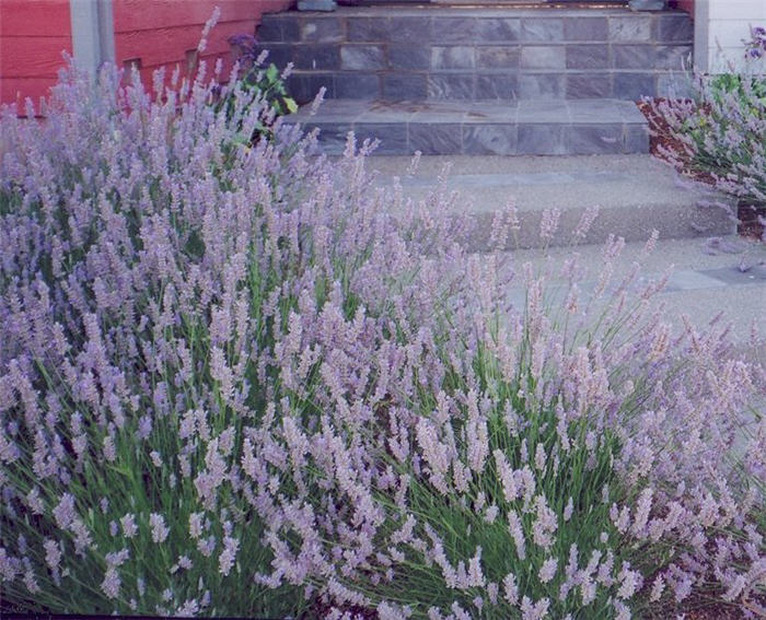Plant photo of: Lavandula X intermedia 'Provence'