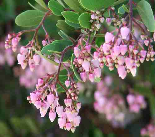 Plant photo of: Arctostaphylos bakeri 'Louis Edmunds'