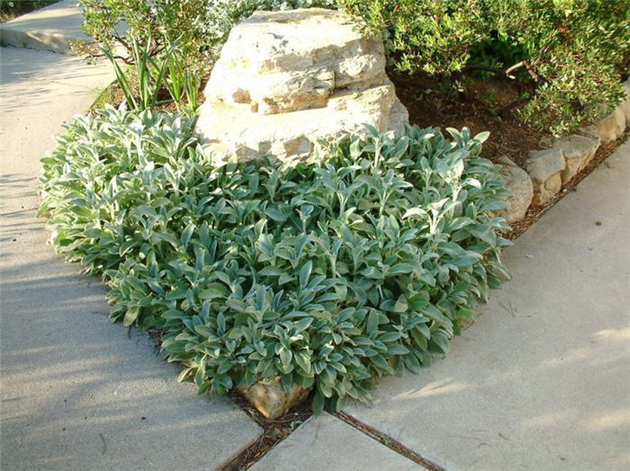 Plant photo of: Stachys byzantina