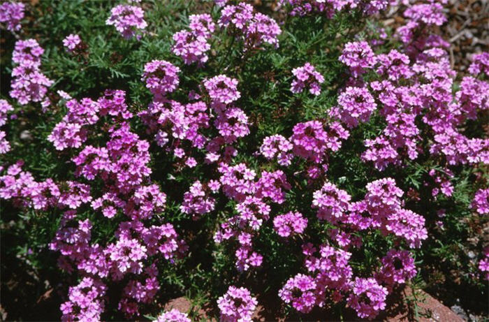Plant photo of: Verbena peruviana