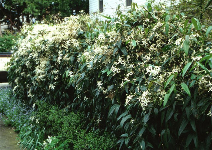 Plant photo of: Clematis armandii