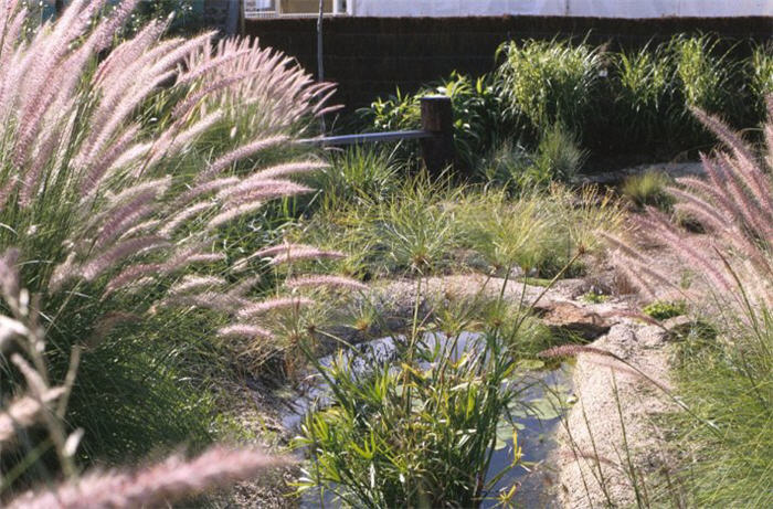 Plant photo of: Pennisetum alopecuroides