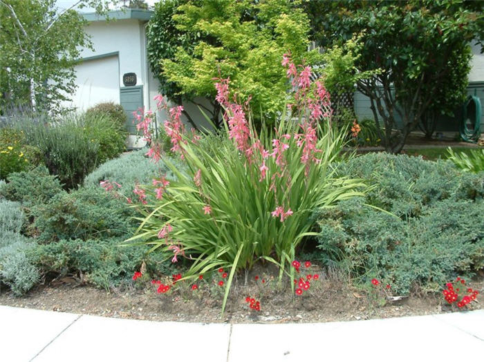 Plant photo of: Watsonia pillansii