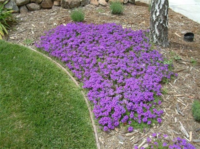 Verbena peruviana homestead purple plant photo of verbena peruviana homestead purple mightylinksfo