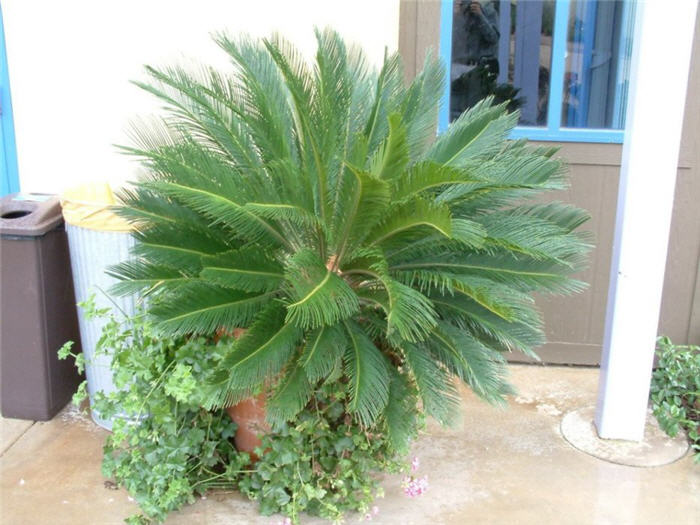 Plant photo of: Cycas revoluta