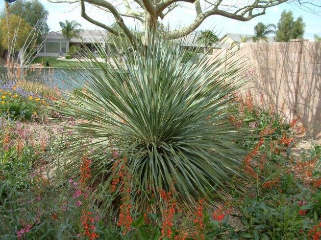Plant photo of: Dasylirion wheeleri