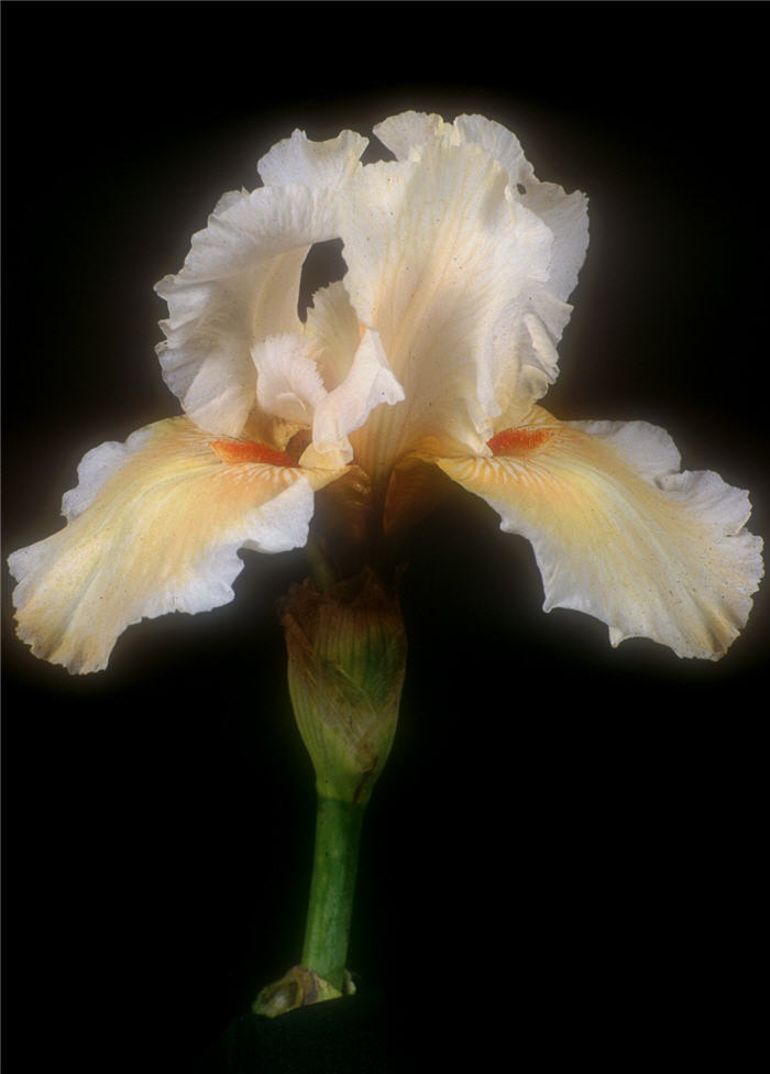 Plant photo of: Iris bearded 'Coral Beauty'