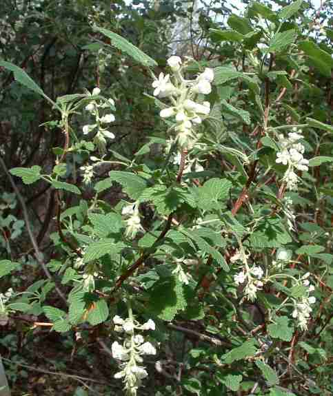 Plant photo of: Ribes indecorum