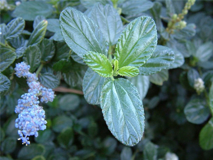 Plant photo of: Ceanothus griseus hor. 'Yankee Point'