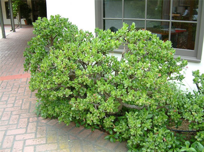 Plant photo of: Crassula ovata