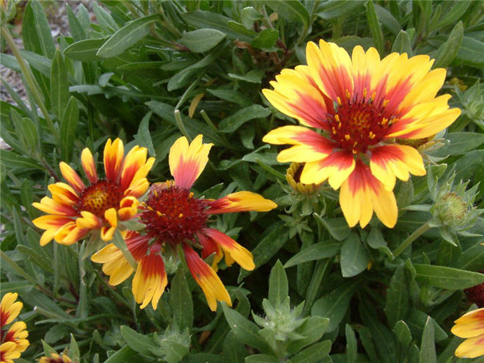 Plant photo of: Gaillardia X grandiflora