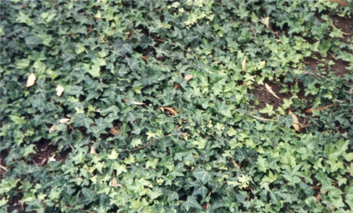 Plant photo of: Hedera helix 'Hahn's'