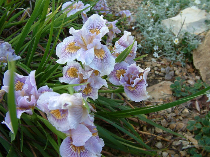 Plant photo of: Iris Pacific Coast Hybrids