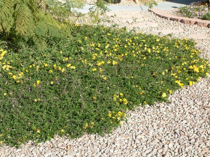 Plant photo of: Lantana 'Trailing Yellow'