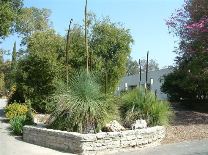 Plant photo of: Xanthorrhoea quadrangulata