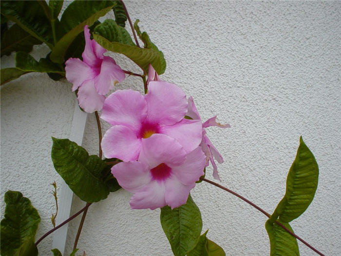 Plant photo of: Mandevilla hybrids