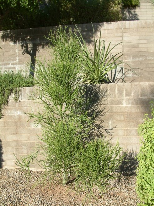 Plant photo of: Euphorbia tirucalli
