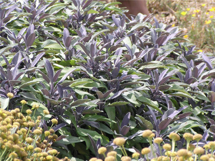 Plant photo of: Salvia officinalis 'Purpurascens'