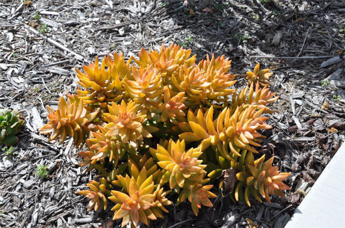 Plant photo of: Sedum nussbaumeranian