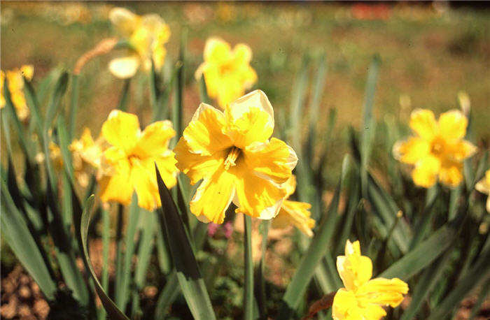 Plant photo of: Narcissus 'Mistrial'