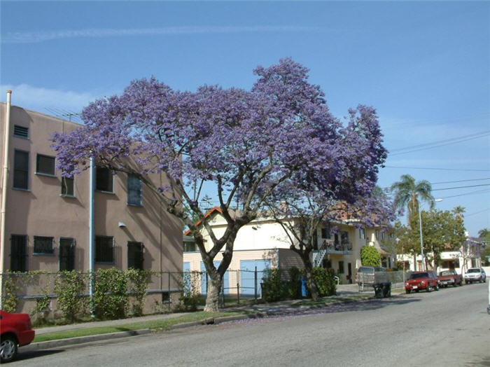 Plant photo of: Jacaranda mimosifolia