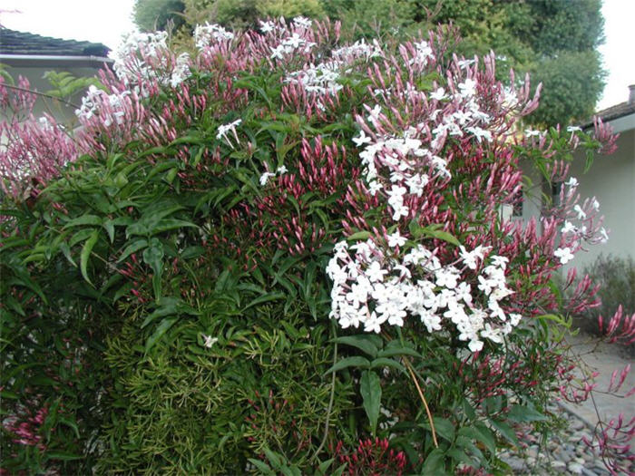 Plant photo of: Jasminum polyanthum