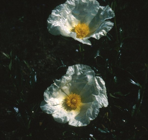 Plant photo of: Cistus palhinae