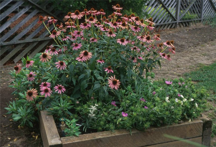 Plant photo of: Echinacea purpurea