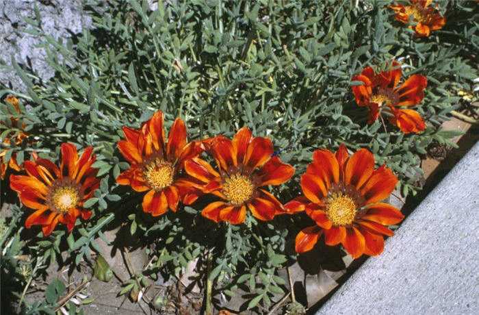 Plant photo of: Gazania 'Copper King'
