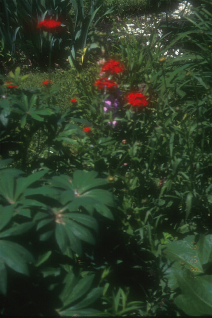 Plant photo of: Lychnis chalcedonica