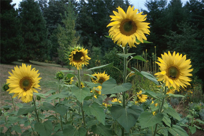 Plant photo of: Helianthus annuus