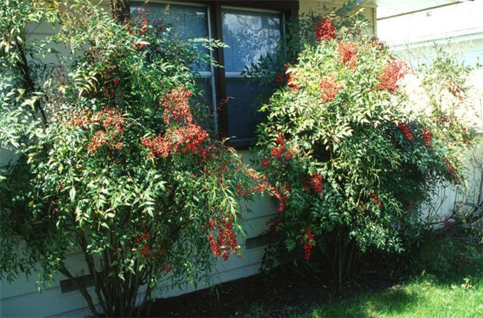 Plant photo of: Nandina domestica
