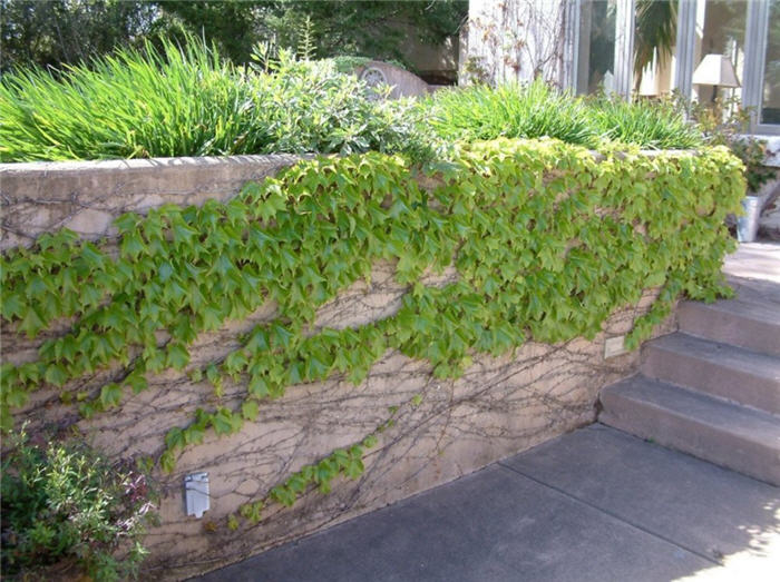 Plant photo of: Parthenocissus quinquefolia