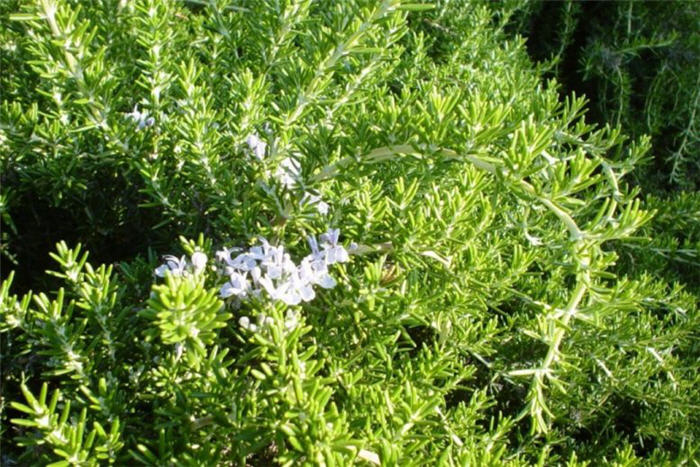 Plant photo of: Rosmarinus officinalis