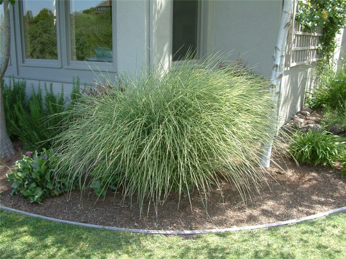 Plant photo of: Miscanthus sinensis 'Morning Light'