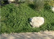 Ground Cover Myoporum