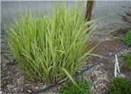 Silver Arrow Miscanthus