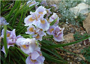 Pacific Coast Irises