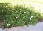 Rosa Ground Cover varieties