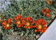 Gazania 'Copper King'